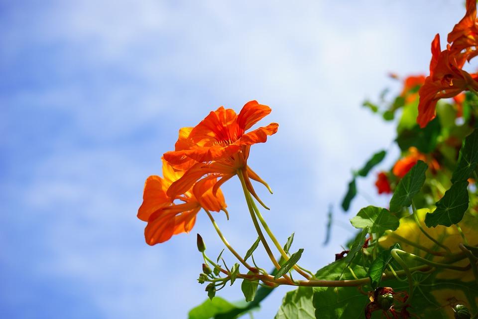 Nasturtium, Blossom, Bloom, Red, Flower