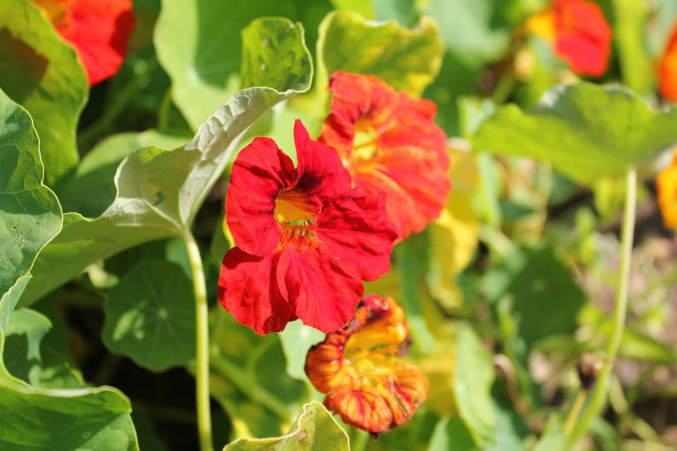 Nasturtium, Blossom, Bloom, Orange