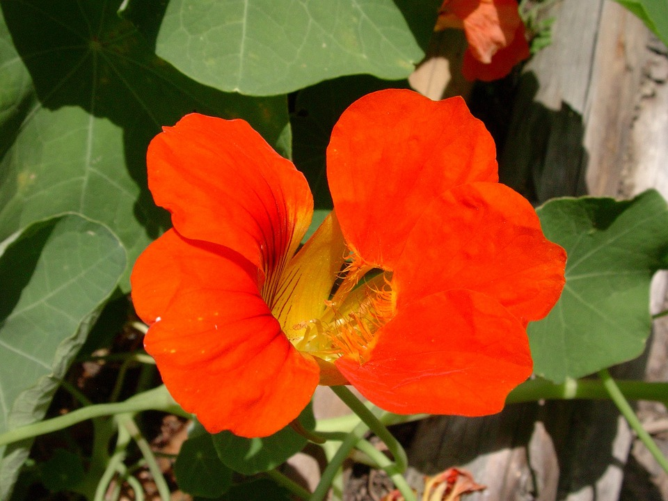 Nasturtium, Red, Flower