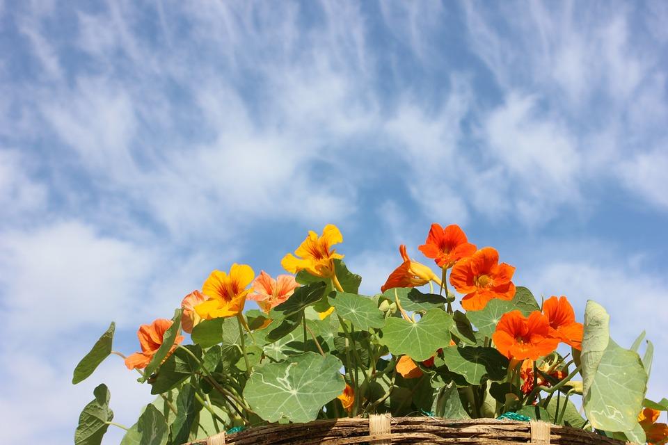 Nasturtium, Flower, Sky