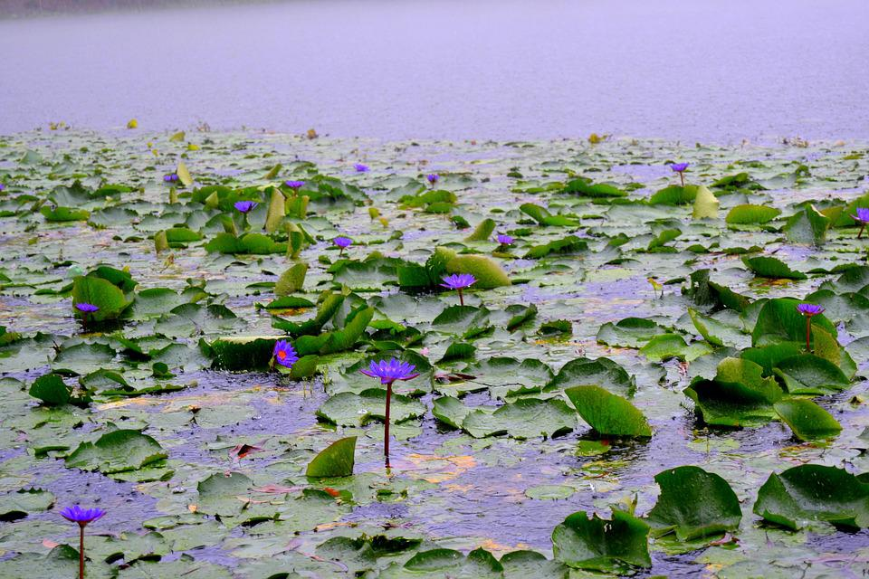 Bangladesh, National, Flower, Water Lily