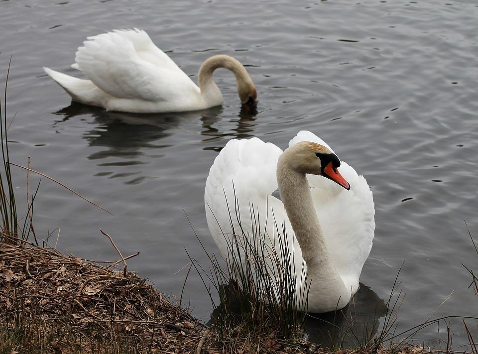 Swans, Couple, National Bird, Danish, Water
