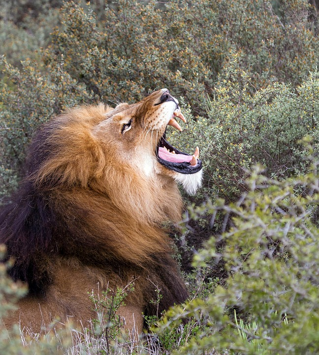 Lion, Africa, South Africa, National Park, Roar