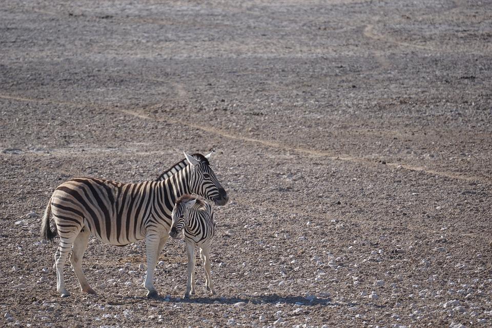 Zebra, Namibia, Etosha, National Park, Safari, Animal