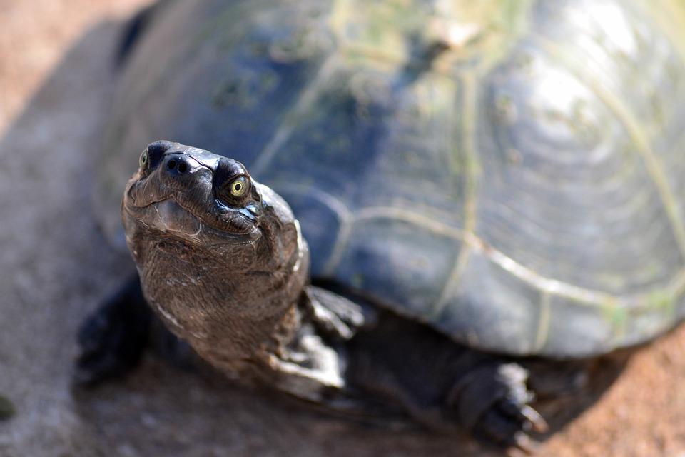 Terrapin, Turtle, Zurtoise, Wildlife, National Park