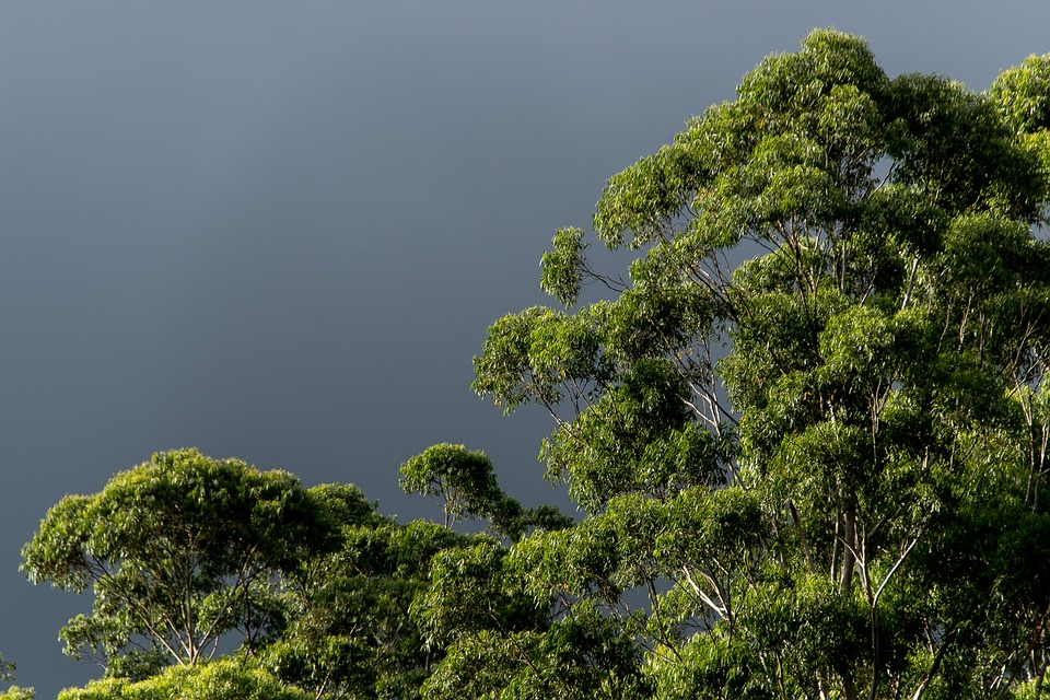 Gum Trees, Eucalypts, Green, Native, Subtropical