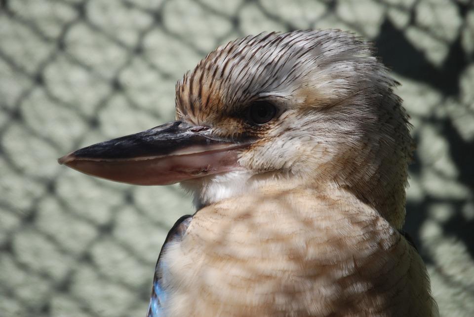 Kookaburra, Australian, Native, Bird, Beak, Close-up