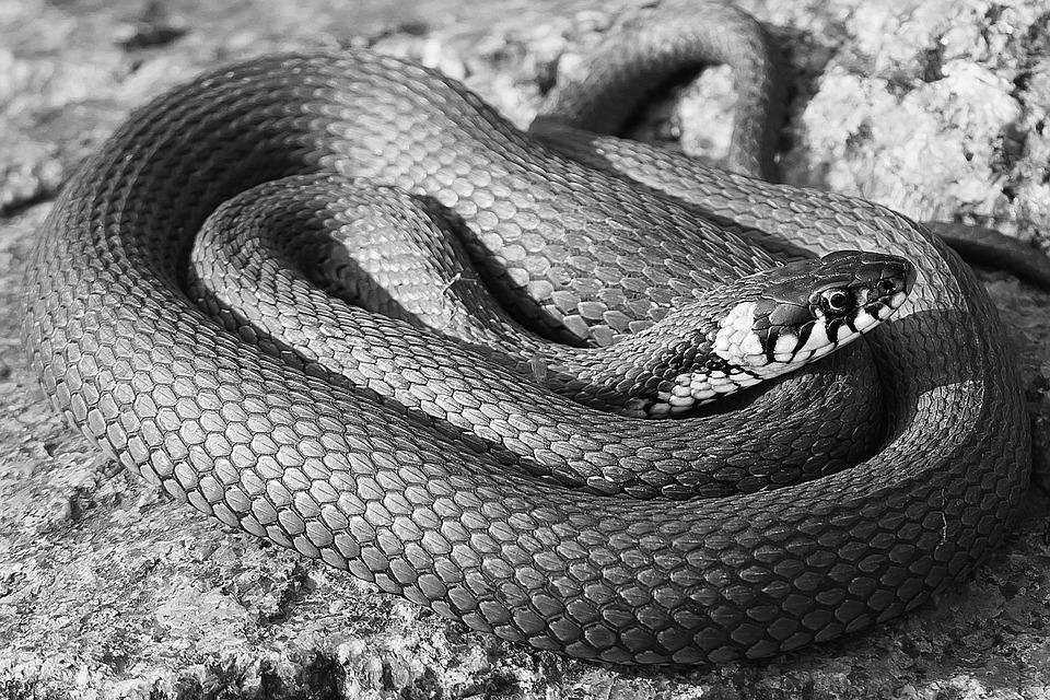 Snake, Black, Black And White, Rnatakäärme, Natrix