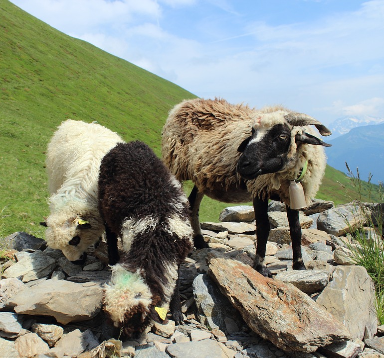 Sheep, Lamb, Natural, Expensive, Alps, Mountain