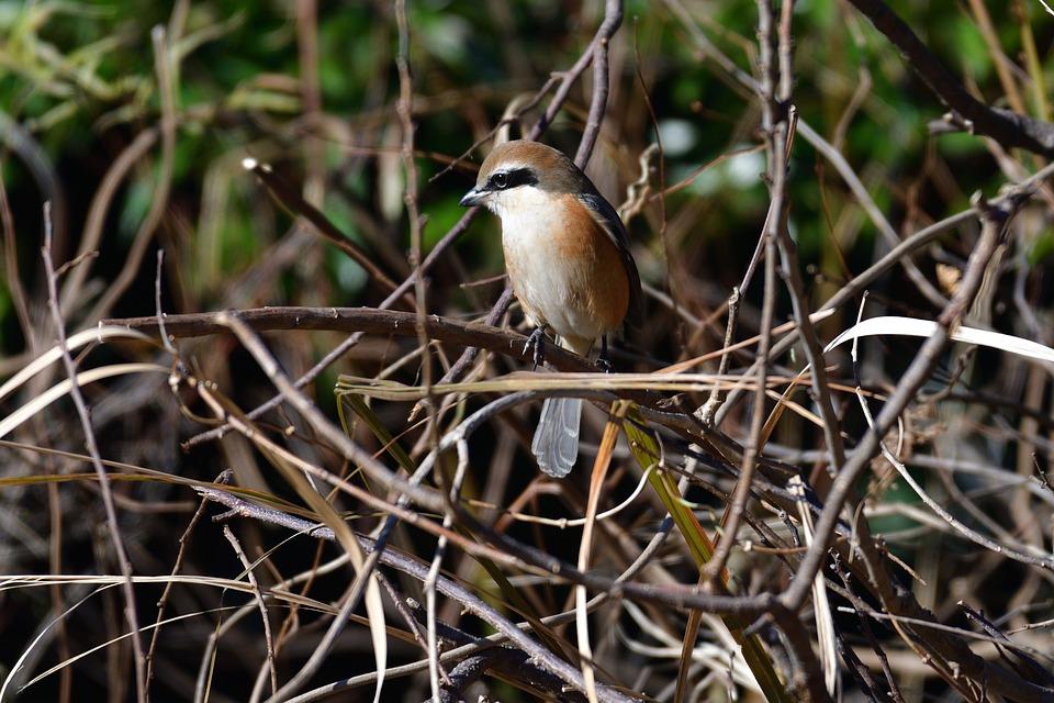 Wild Animals, Natural, Bird, Animal, Outdoors, Shrike