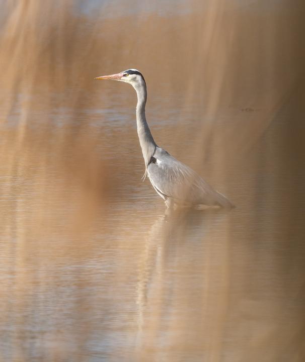 Heron, Pond, Reeds, Bird, Feather, Water, Natural, Beak