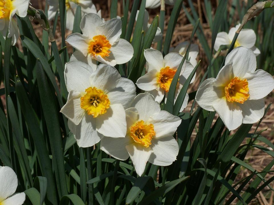 Daffodil, Floral, Plants, Natural, Blossom, Bloom
