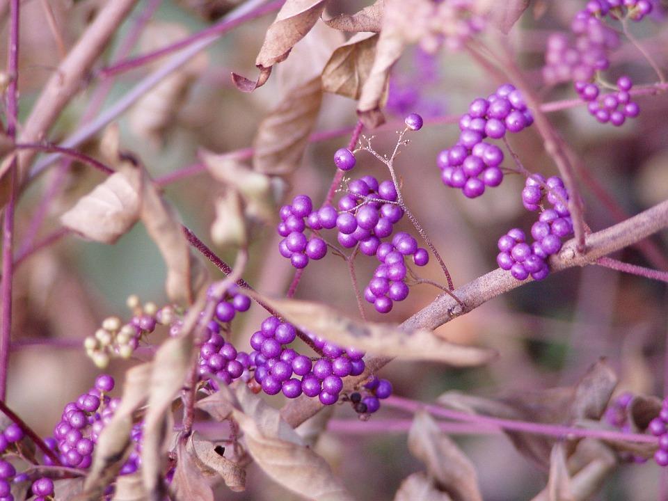 Beauty Berries, Bush, Nature, Berry, Natural, Bright