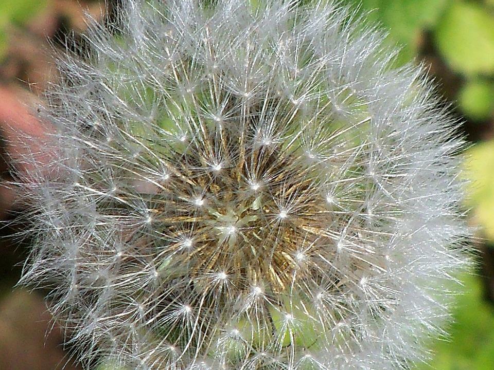 Dandelion, Floral, Plant, Natural, Blossom, Bloom