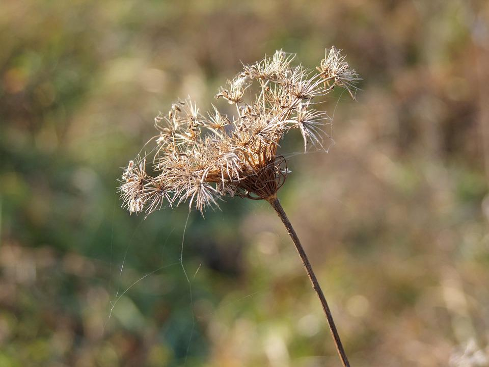 Plant, Dry, Field, Autumn, Nature, Flora, Natural