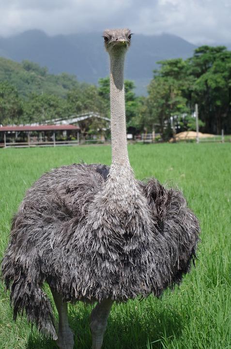 Ostrich, Bird, Natural, Ecology