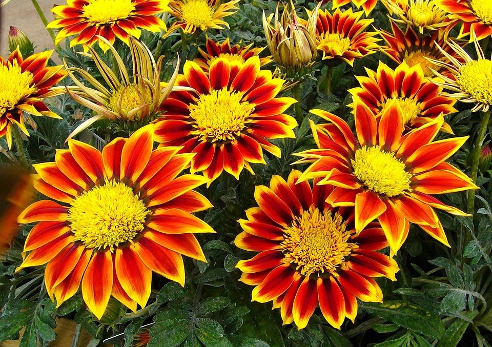 Gazanias, Garden Plant, Floral, Plants, Natural
