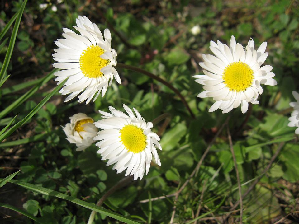 Daisy, Flower, Spring, Nature, Plant, Natural, Floral