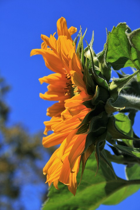 Sunflower, Flower, Floral, Wildflower, Plant, Natural