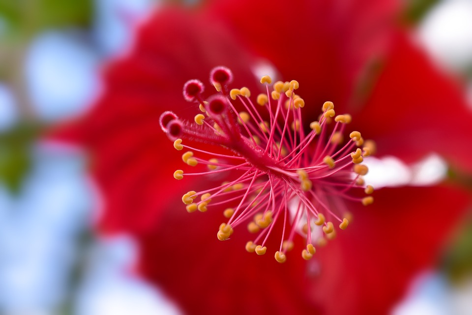 Free Photo Natural Flowers Red Flower Nature Poppy Max Pixel