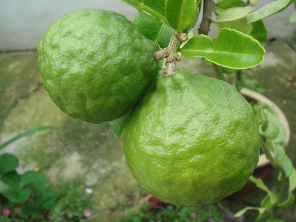 Lime, Citrus, Fruit, Green, Tree, Growing, Natural