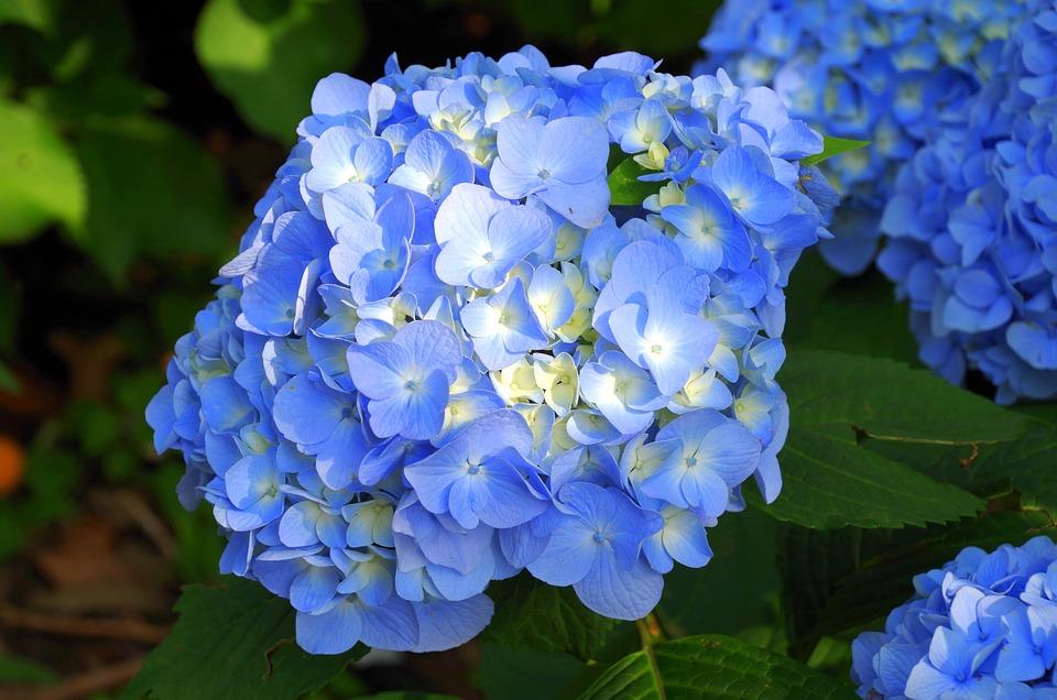Hydrangea, Japan, Natural, Purple, Japan Flower, June