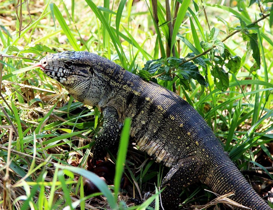 Gold Tegu, Lizard, Brazilian, Natural, Landscape