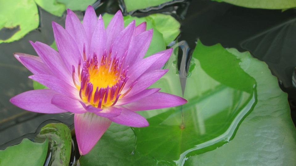 Lotus, Purple, Plant, Natural, Flower