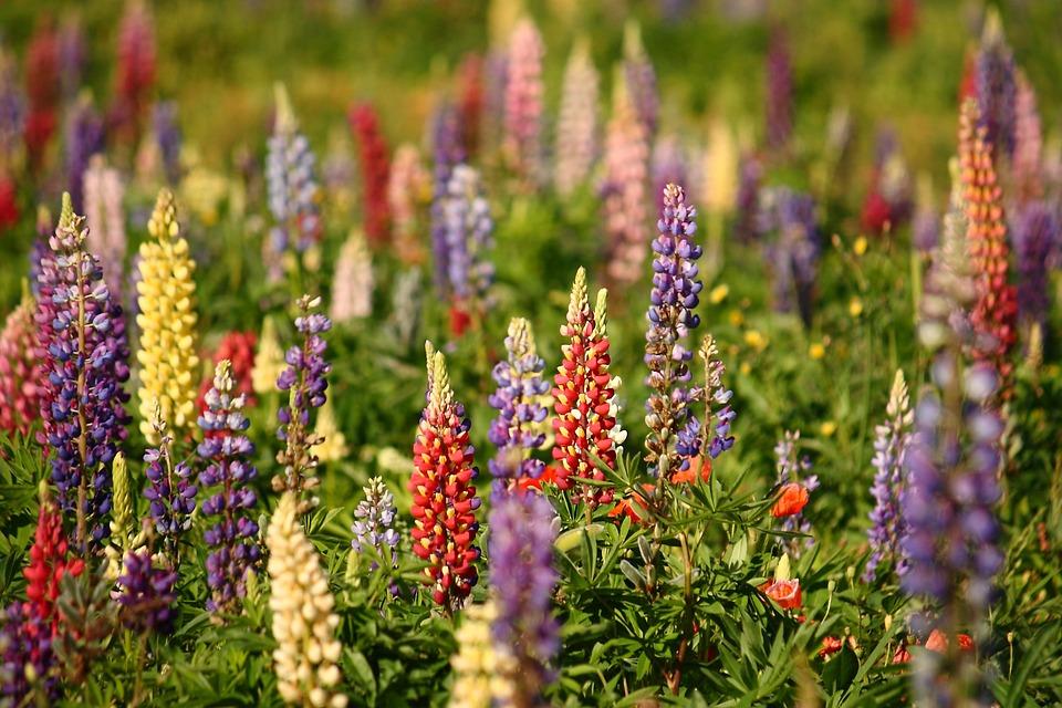 Lupins, Natural, Summer, Flower