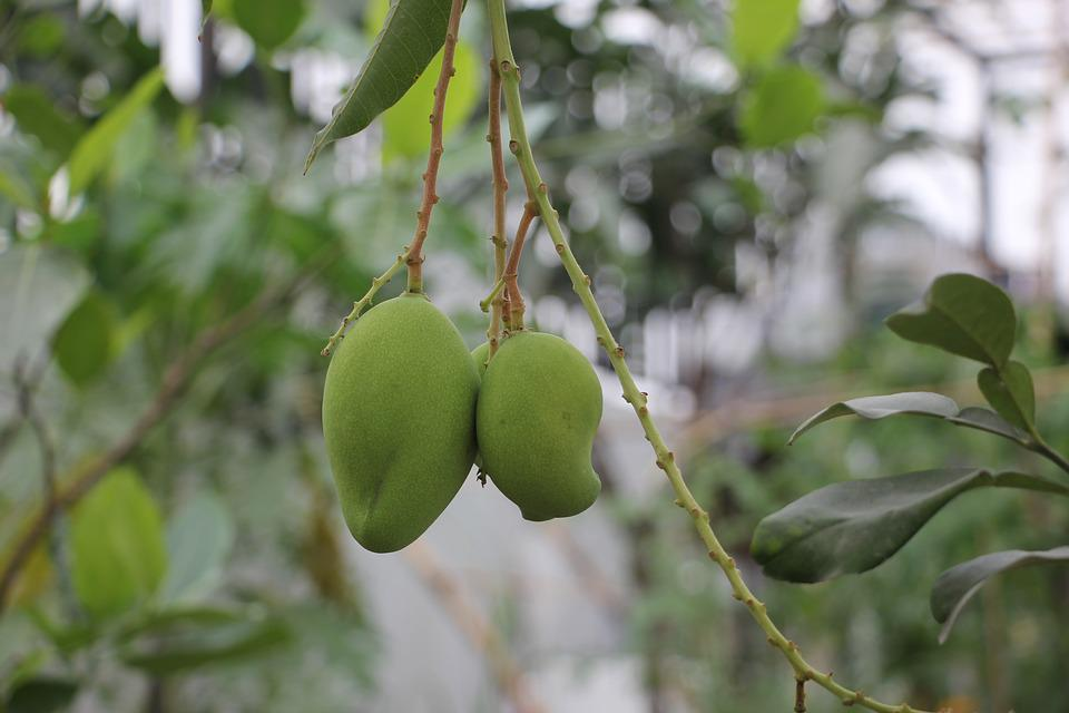 Mango Tropical, Fruit, Natural, Organic