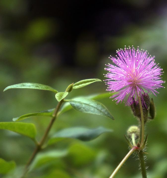 Flowers, Pink, Mimosa, Natural, Beautiful