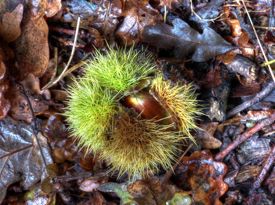 Chestnut, Nature, Natural, Seed Pod, Seed, Season
