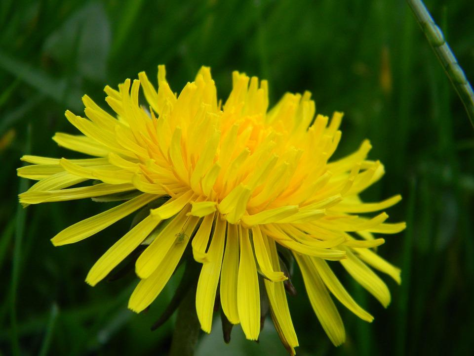 Dandelion, Nature, Flower, Spring, Natural, Original