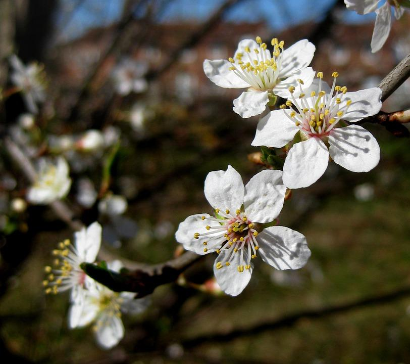 Flowering Tree, White Flowers, Spring, Odense, Natural