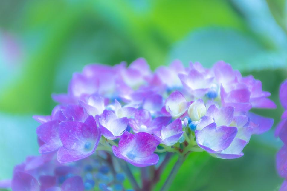 Flowers, Hydrangea, Plant, Natural, Ornamental Plants
