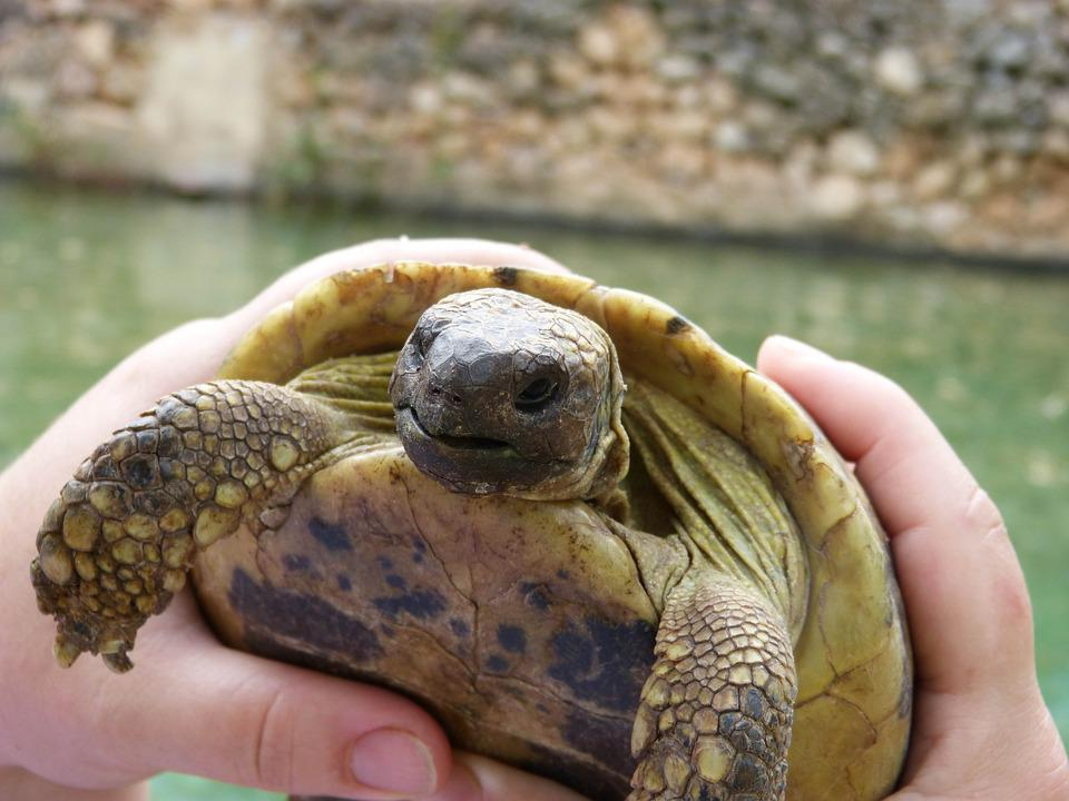 Mediterranean Tortoise, Priorat, Montsant, Natural Park