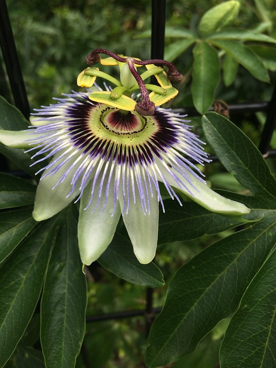 Passion Flower, Flowers, Strange Flower, Art, Natural