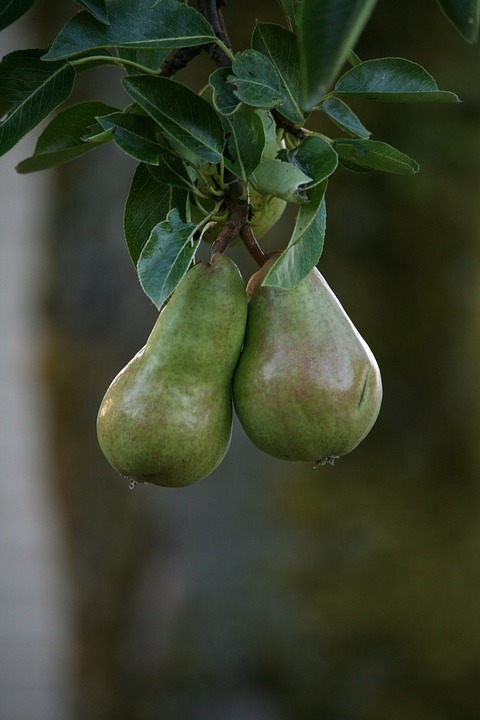 Pears, Fruit, Hanging, Pair, Natural
