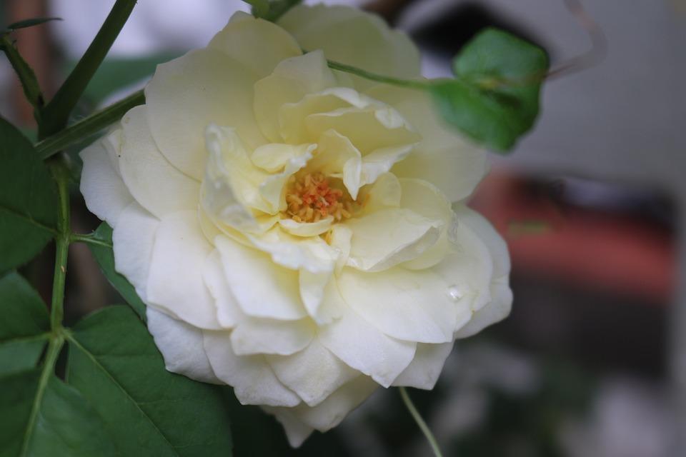 Pristine, Roses, Flower, Leaf, Natural