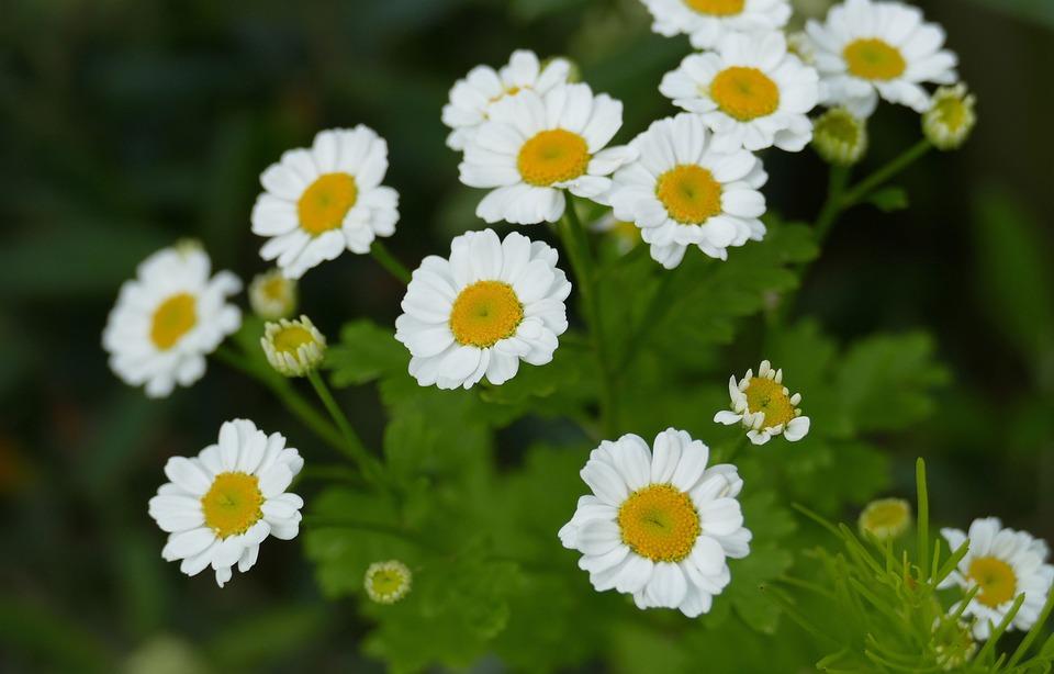 Feverfew, Garden, Plant, Perennials, Spring, Natural