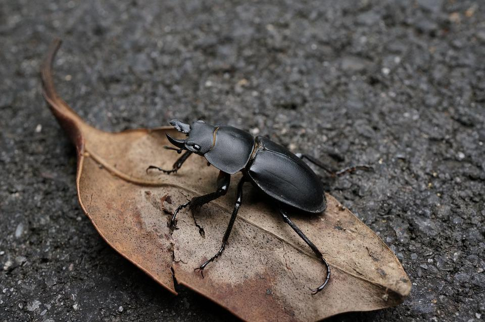 Stag Beetle, Natural, Quentin Chong, Beetle