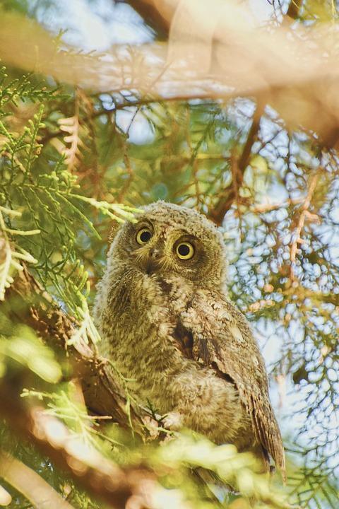 Owl, Oriental Scops Owl, Bird, Tree, Green, Natural