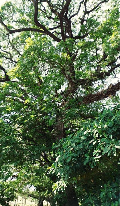 Tree, Plants, Green, Natural, Landscape, Environmental