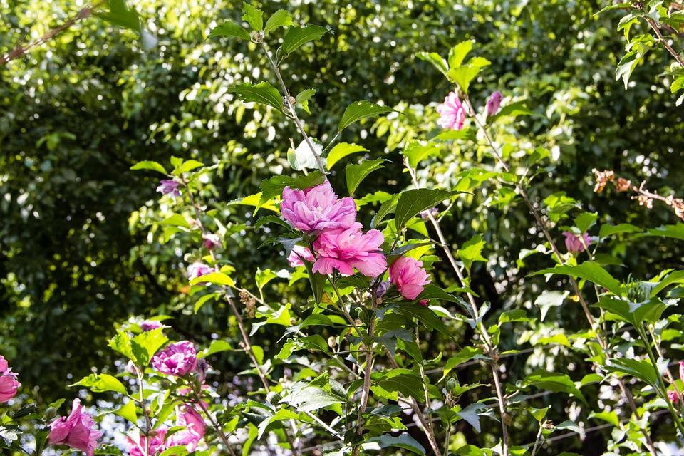 Plant, Flowers, Purple Pink, Views, Hibiscus, Natural