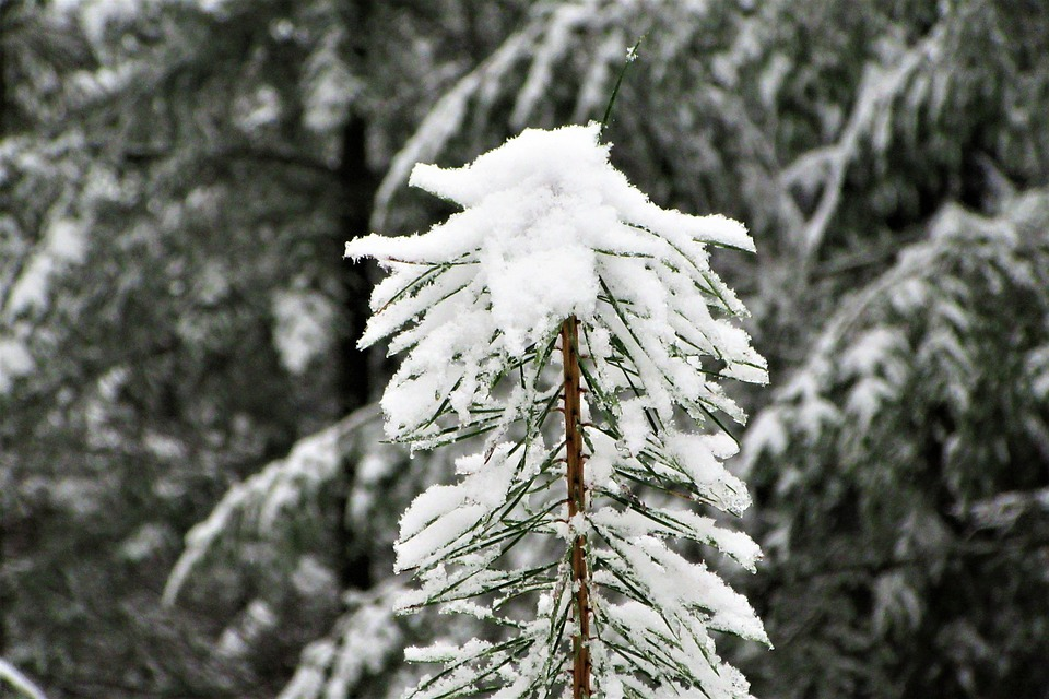 Conifer, Grow, Forest, Natural, Winter, Pattern