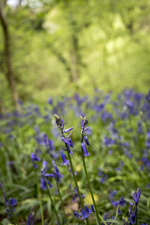 Bluebells, Forest, Woodland, Wood, Nature, Natural