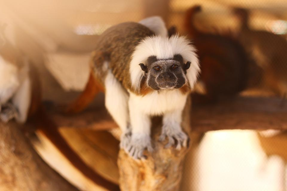 Monkey, Mico, Mono, Zoo, Amazonia, Naturaleza, Nature