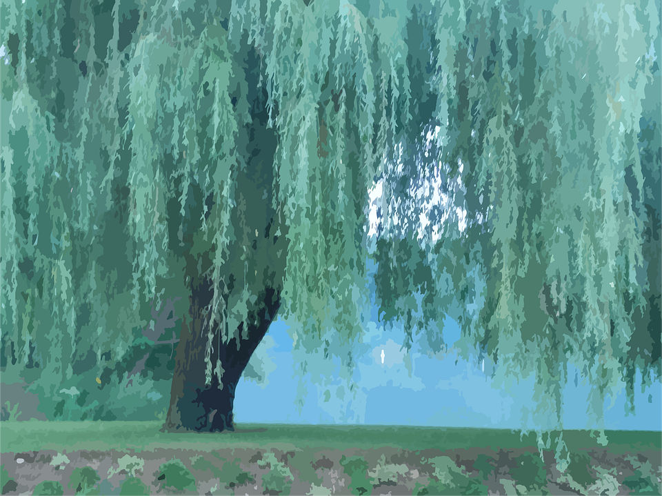 Tree, Willow Tree, Nature, Naturally, Natural, Green