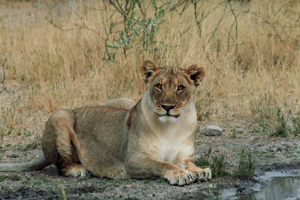 Lion, Female, Cat, Wildlife, Namibia, Africa, Nature