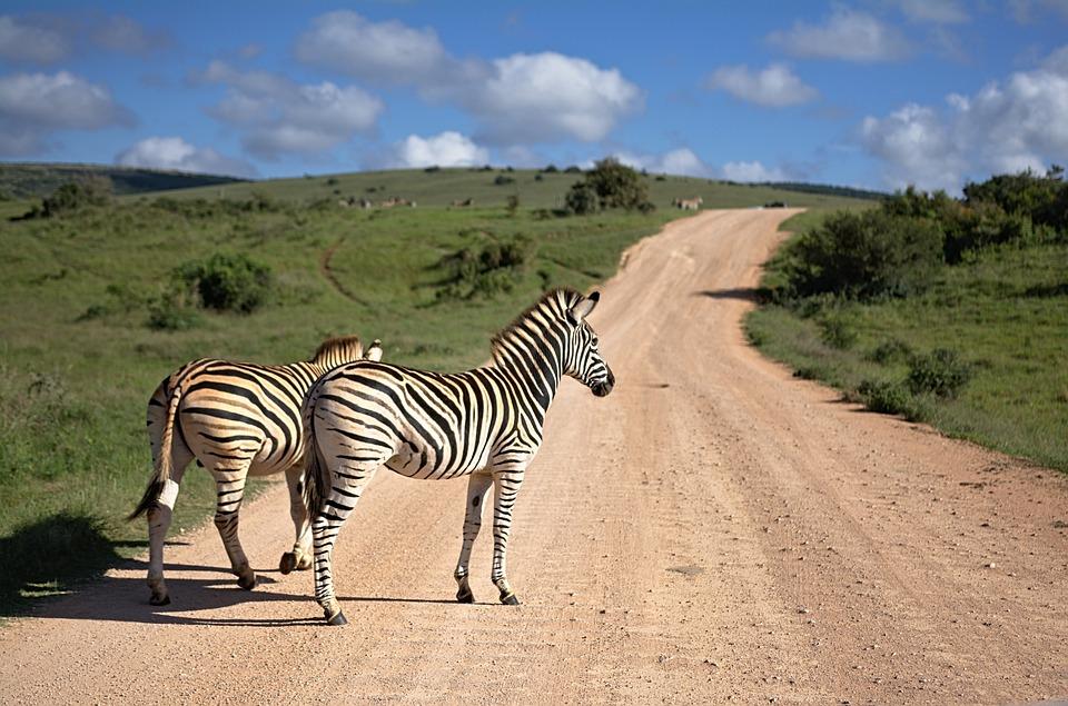 Zebra, South Africa, Africa, Animal, Nature, Stripes